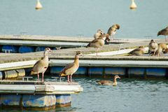 Wild geese are on a wooden pier. Near the water Royalty Free Stock Photos