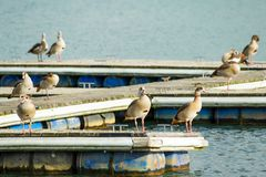 Wild geese are on a wooden pier. Near the water Stock Photography