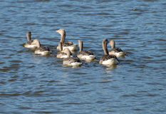 Wild geese with young, South Bohemia. Czech Republic Royalty Free Stock Photography