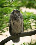 Wild Gehoornd Owl Rests In The Forest in de loop van de dag royalty-vrije stock afbeelding