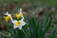 Wild Gele narcisclose-up royalty-vrije stock foto's