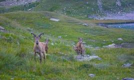 Wild gemzen Nationaal Park in de bergen Stock Afbeelding