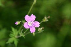 Wild Geranium Stock Image