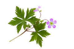 Wild Geranium Royalty Free Stock Photos