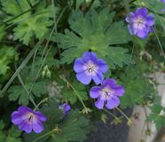 Wild geranium blossom Royalty Free Stock Photos