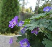 Wild geranium blossom Stock Photography