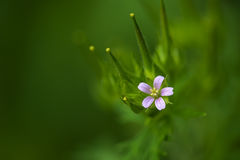 Wild Geranium Stock Photography