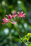 Wild geranium flower Stock Image