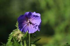 Wild Geranium Flower Stock Photo