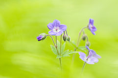 Wild Geranium flowers Stock Photo