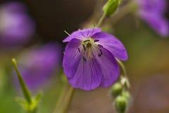 Wild Geranium Royalty Free Stock Image