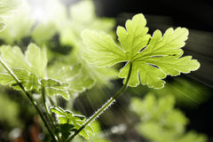 Wild Geranium leaves Stock Photos