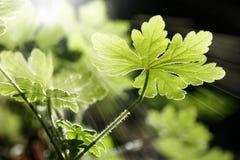 Wild Geranium leaves stock photos