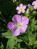 Wild Geranium Stock Photos