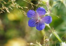 Wild Geranium. Wild purple geraniums in summer forest stock photography