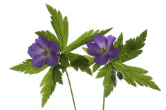 Wild Geranium on White Stock Image