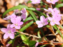 Wild Geranium. Wildflowers grow rampant in the heart of the Shenandoah mountains Royalty Free Stock Image