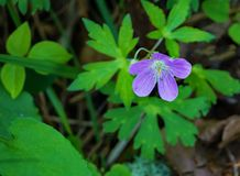 """Wild Geranium - Geranium maculatum. Wild Geraniums also called """"Crane's Bill"""" are a common flower that grows in the eastern United States in woods stock images"""