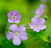 Wild Geraniums Stock Image