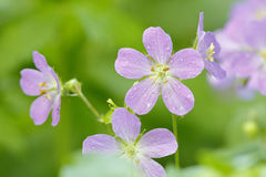 Wild Geraniums After a Spring Rain Stock Photos