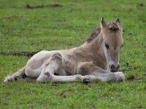 Wild german horses Stock Photo