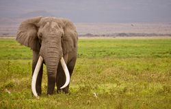 A Wild Giant African elephant stock image
