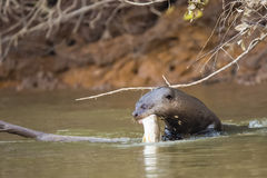 Wild Giant Otter Emerging with Fresh Caught Fish in Mouth. Under some branches near the riverbank, this wild giant otter emerges from the river with a freshly Royalty Free Stock Photo