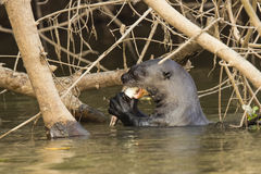 Wild Giant Otter Gnawing Fish in River under Roots Royalty Free Stock Photos