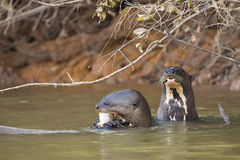 Wild Giant Otters: Gnawing Fish, Stretching Neck above Water Royalty Free Stock Photos