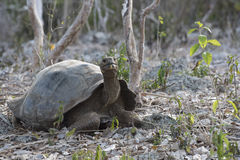 Wild giant tortoise on galapagos island Stock Photos