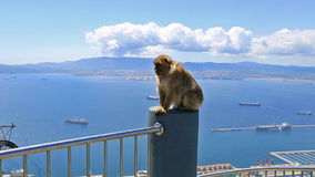 Wild Gibraltar monkey stock video footage