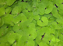 Wild Ginger. Photograph of a thick mass of wild ginger in a midwestern forest royalty free stock image