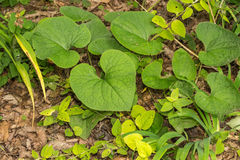 Wild Ginger - Asarum canadense Stock Photos