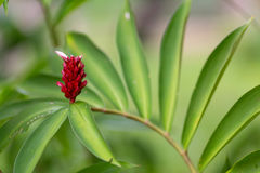 Wild ginger flower Royalty Free Stock Images