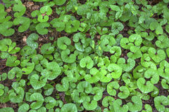Wild ginger leaves Royalty Free Stock Photography