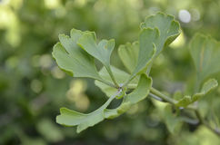 Wild Ginkgo Biloba Leaves Plant Royalty Free Stock Photo