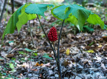 Wild Ginseng with Berries Stock Photography