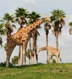 wild giraff Arkivfoton