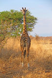 Wild giraff Arkivbild