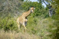 wild giraff arkivfoto