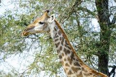 wild giraff royaltyfria bilder