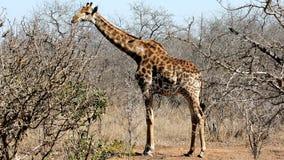 Free Wild Giraffe Stock Photography - 13556152
