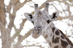 Wild Giraffe Stock Photo