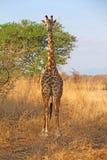 Wild Giraffe. In the savannah in Mikumi, Tanzania Stock Photography