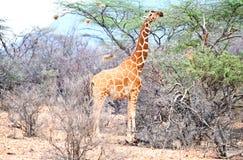 Wild giraffe Royalty Free Stock Photography