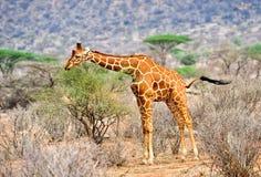 Wild giraffe Stock Photography