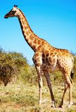 Wild giraffe. In african savanna, Etosha National Park, Namibia Royalty Free Stock Photography