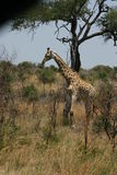 Wild Giraffe. In Kruger National Park, South Africa Royalty Free Stock Photos