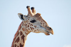 Wild giraffe. With sky on background stock images