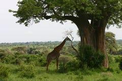 Wild Giraffe africa savannah Kenya Giraffa camelopardalis. Wild Giraffe mammal africa savannah Kenya Giraffa camelopardalis Royalty Free Stock Photos